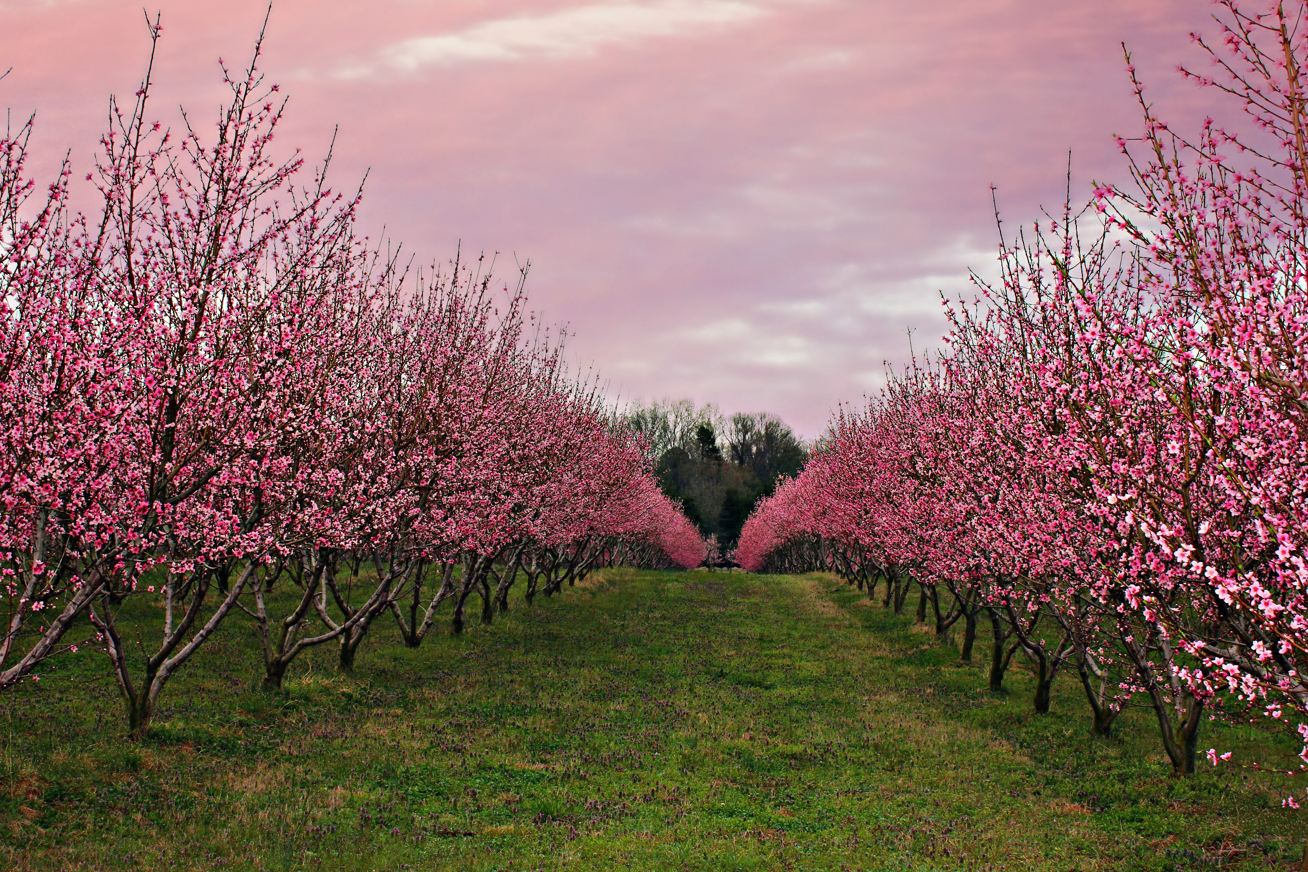 Starbucks Amp The Peach Orchard In South Carolina Simply Taralynn