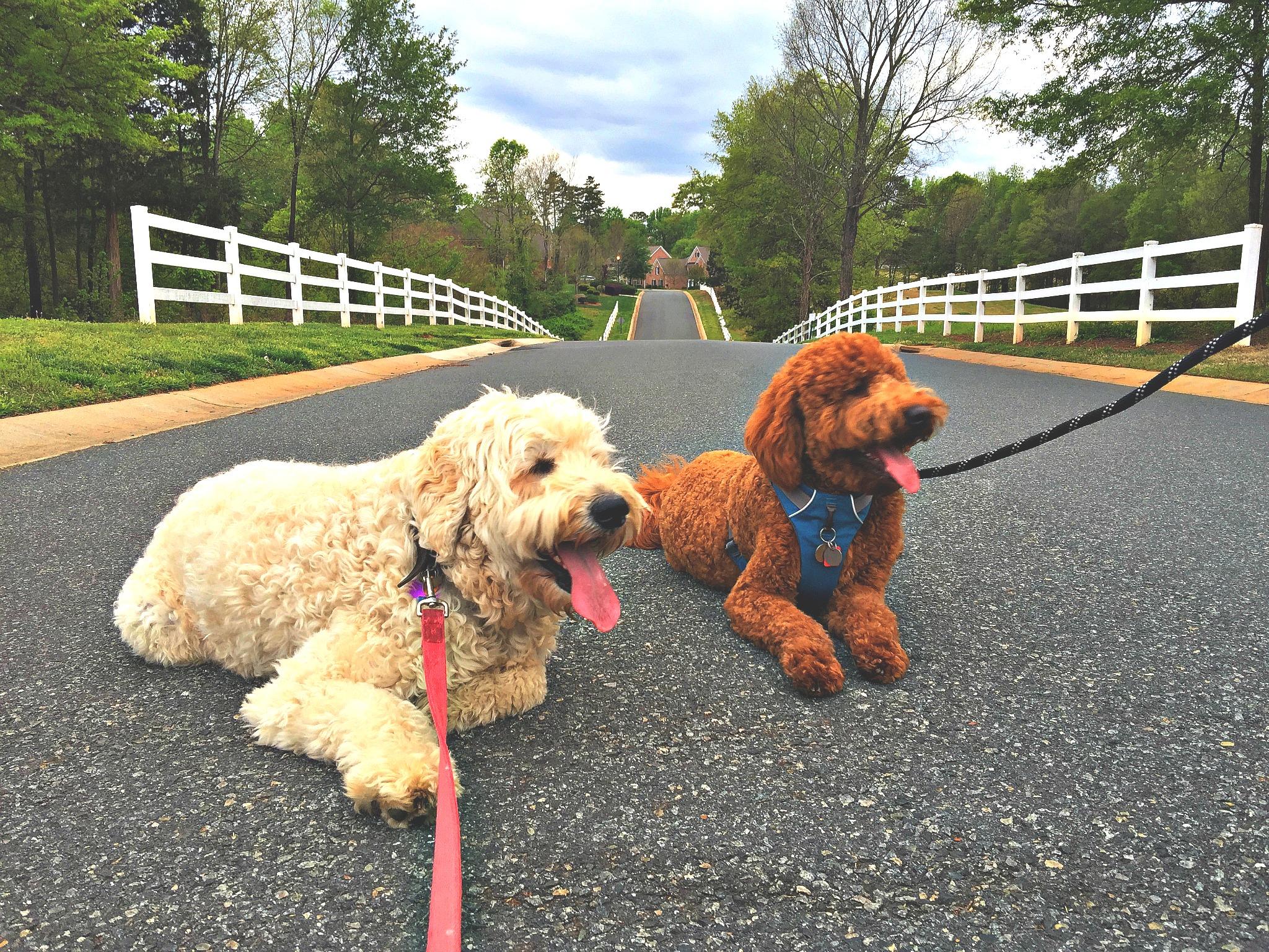 Grumples & Kona: Goldendoodles