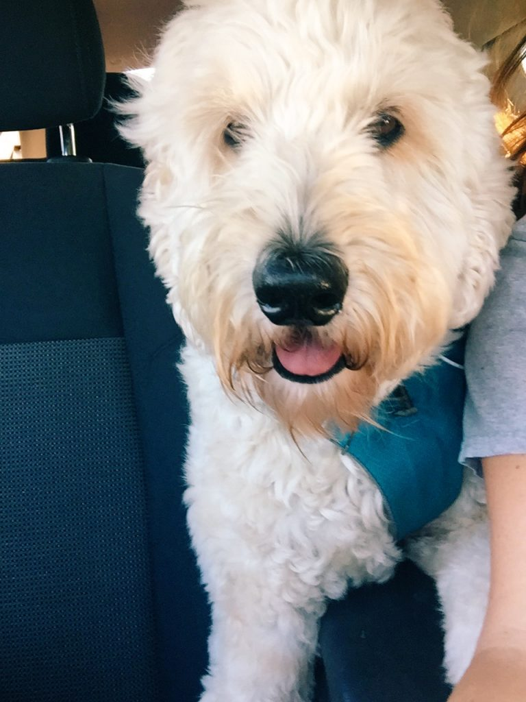 Grumples the Goldendoodle