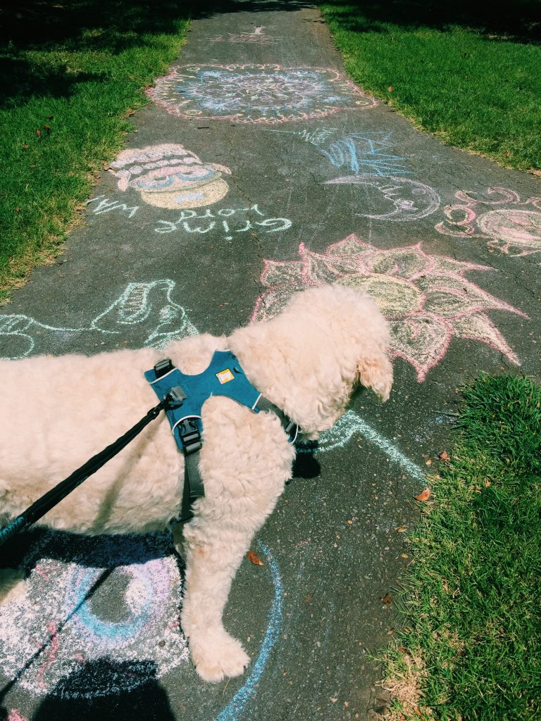 afternoon walk with grumples the goldendoodle