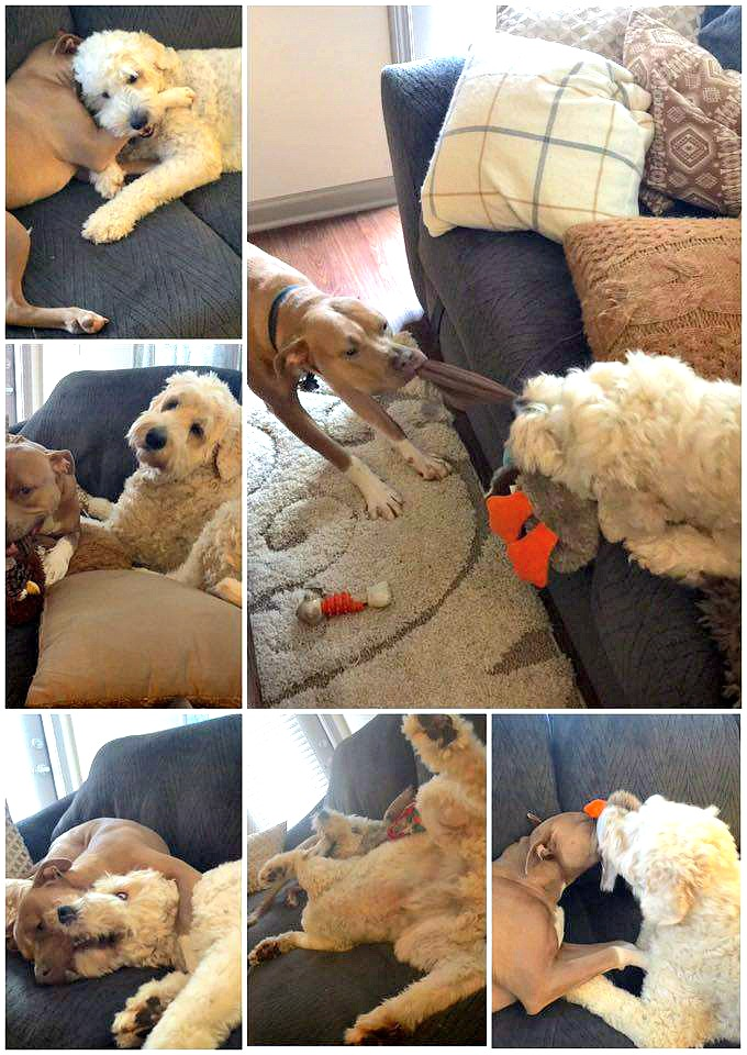 crazy dogs: grumples & santino