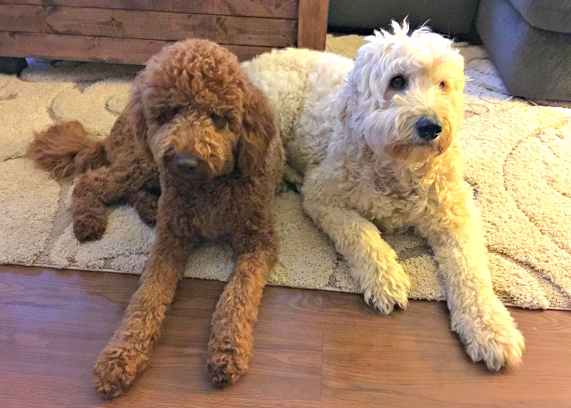 Kona and Grumples Goldendoodles