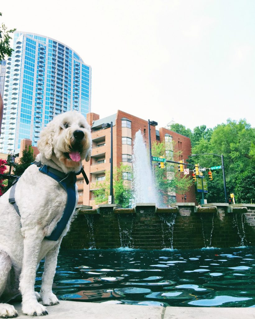 Dog Walk with MR. GRUMPLES Uptown Charlotte NC