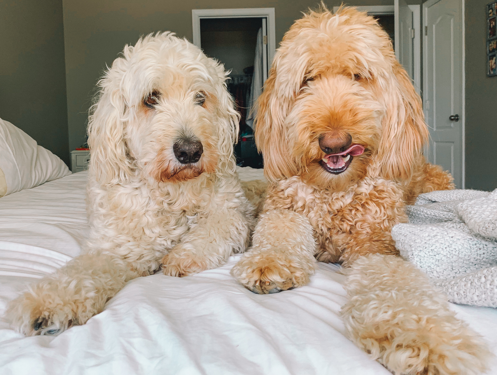 golden doodles grumbles and Leo