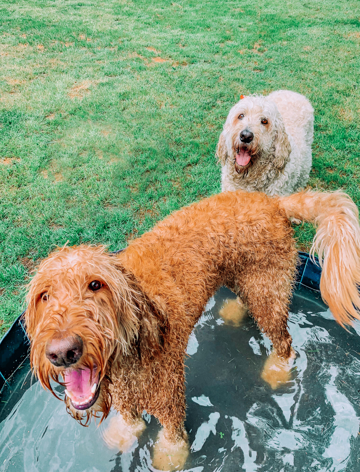 dog pool summer fun backyard grumbles and Leo goldendoodles summer