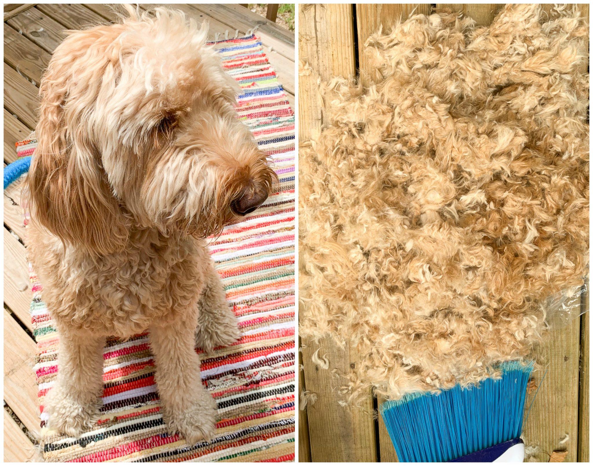 Grooming Dog Shaving Goldendoodle Dog Clipping Summer
