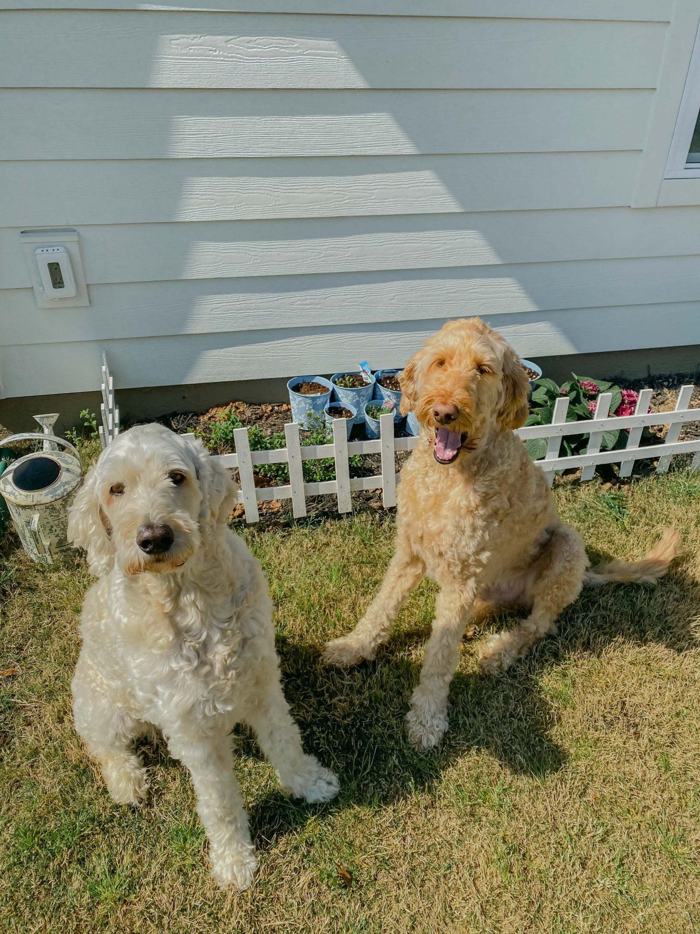 golden doodle, backyard garden, white picket fence, garden, pups, backyard, flowers, hydrangeas, cut flower garden, garden dogs, South Carolina