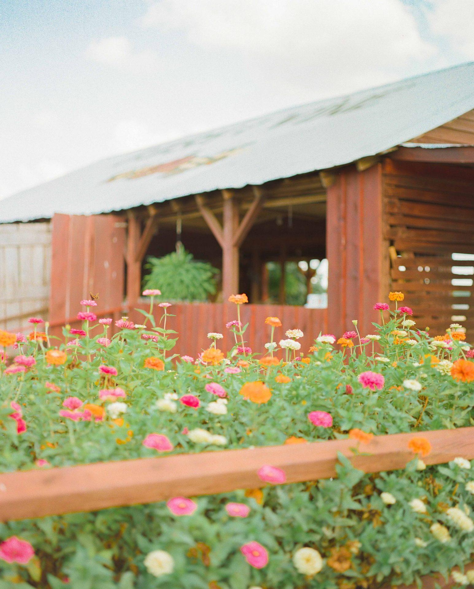 film, Pentax 6x7, bush n vine, york South Carolina, York county, fort mill, York, peaches, zinnias, farm, film photography, barn, peach stand